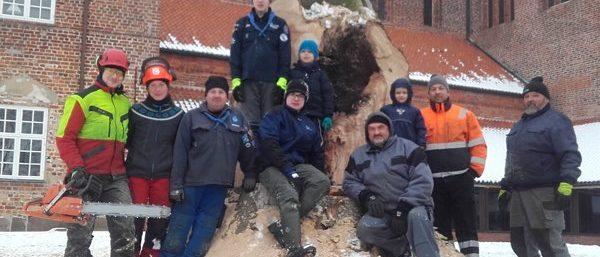 Et megastort bøgetræ blev fældet, da det var sygdomsramt